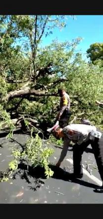 Akibat angin kencang satu pohon Asem tumbang